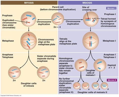 cell division mitosis and meiosis review worksheet