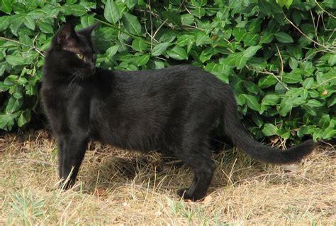 filedrazet  black feral catjpg wikimedia commons