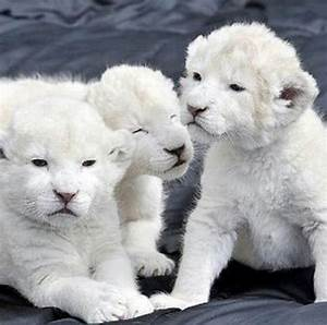 Baby white lion cubs   I need a farm.   Pinterest