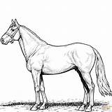 Horse Coloring Pages Stallion Printable Horses Sheets Para Clipart Colorings Categories Magic sketch template