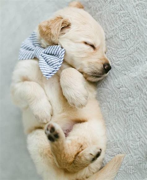 Sleepy Golden Retriever Puppy Cute Fur Babies Cute