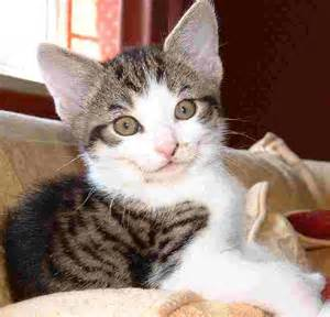 history of domestic cats history of the domestic cat felines