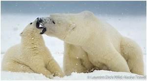 WILD ALASKA TRAVEL Alaska Polar Bear Tour Archives - WILD ...