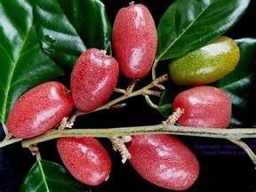 Multiple Fruit Tree