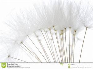 Soft White Dandelion Seeds Stock Photography