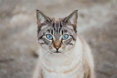 ojos azules rare blue eyed cats petshomes