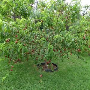 Arbres Fruitiers Nains En Pleine Terre : nectarinier planter et entretenir ooreka ~ Premium-room.com Idées de Décoration