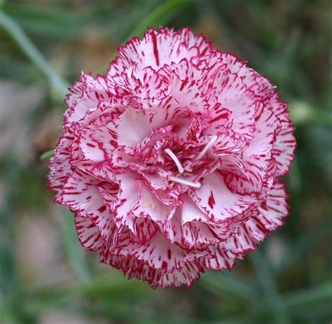 carnation growing grow plants