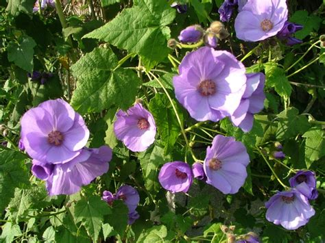abutilon suntense grows