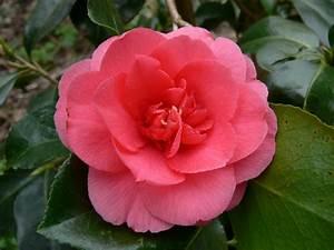 Camellia Japonica Winterhart : camellia japonica kamelie ~ Eleganceandgraceweddings.com Haus und Dekorationen