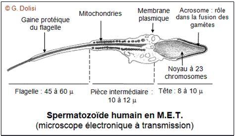 spermatogen 232 se spermatogonie spermatocyte spermatide