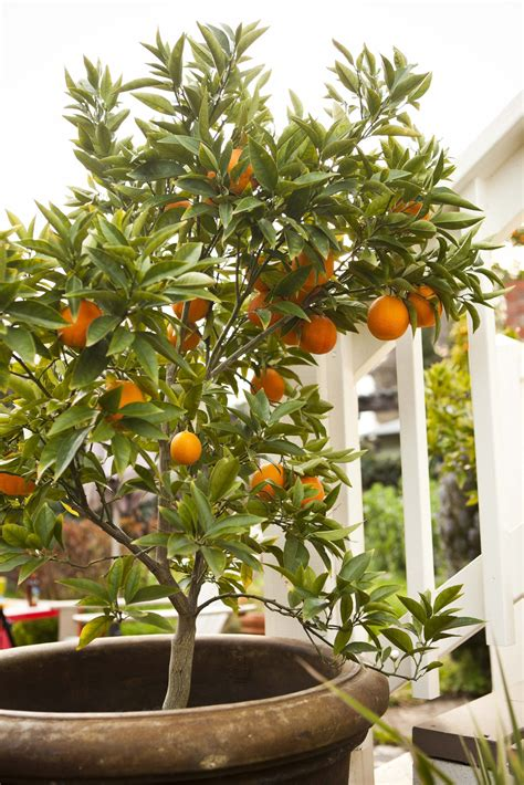 What I Wouldnt Give To Have An Orange Tree Indoor