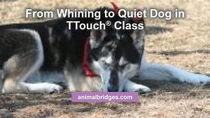 from whining to quiet dog in ttouch class