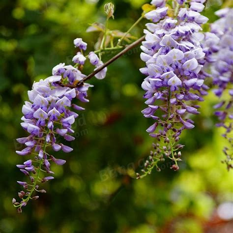 10pcs Mixed Color Garden Wisteria Seeds Climbing Vine Home