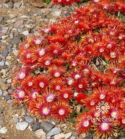 Plant Delosperma Mountain Ice Flame African Hybrid