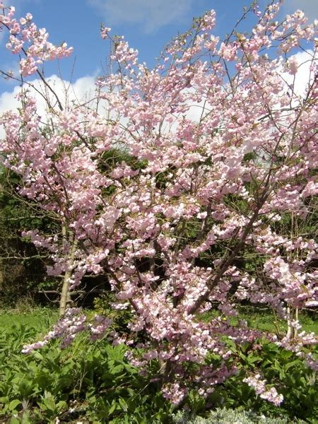 ornamental cherry trees for sale flowering trees for sale