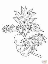 Breadfruit Coloring Pages Branch Drawing Printable Lei Fruits Maile Grapefruit Drawings Ulu Bleach Supercoloring Print Getdrawings Branches Designs Categories sketch template