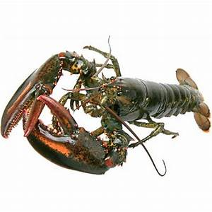lobster | meaning of lobster in Longman Dictionary of ...