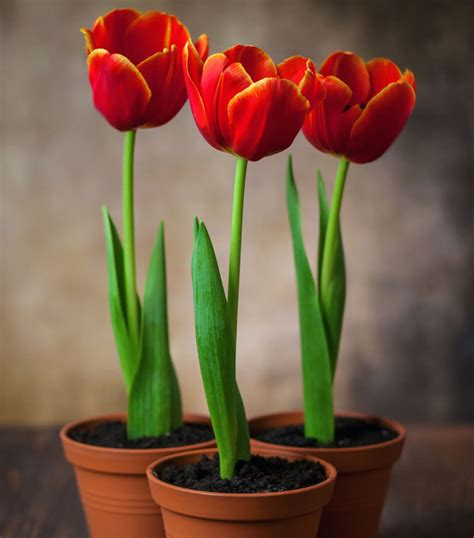 tulips 9 tips for planting them in containers and pots