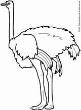 Coloring Pages Ostrich Preschool Printable Animals Animal Kindergarten sketch template