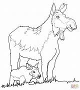 Moose Coloring Cow Calf Pages Drawing Funny Baby Antler Printable Draw Getdrawings sketch template