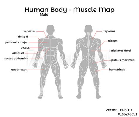 Human muscle system, the muscles of the human body that work the skeletal system, that are under voluntary control, and that are concerned with movement, posture, and balance. Male Human Body Muscle map, with major muscle names, front and back. Vector EPS 10 Illustration ...
