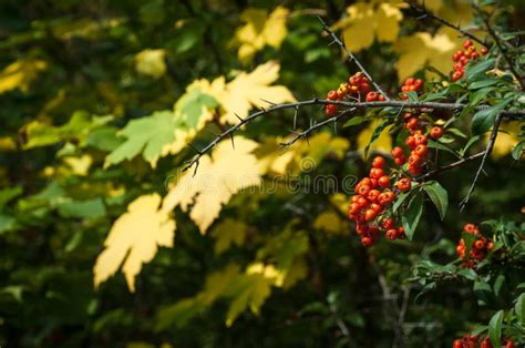 cowberry branch stock 2 248 royalty free