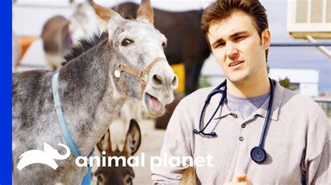 dr ross removes  donkeys abscess files  teeth