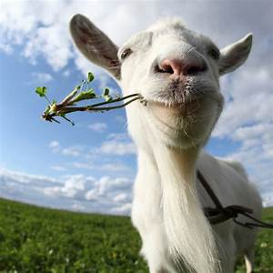 Scientists Prove Goats Are Better Than Chemical Weedkillers