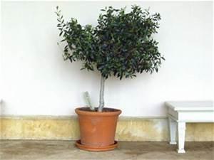 Gros Pot Pour Olivier : olivier en pot conseils de culture ~ Melissatoandfro.com Idées de Décoration