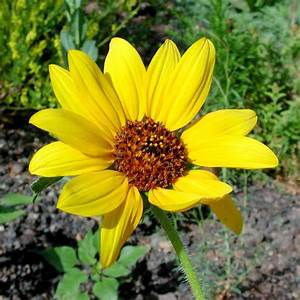 SEINet - Arizona Chapter - Helianthus annuus