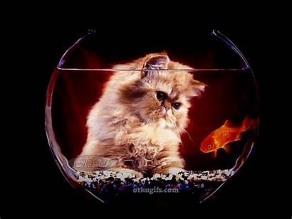 Fish Watching Gifs Kitten Gato Orkugifs Cat