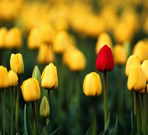 galeria de fotos de tulipanes fotos de tulipanes