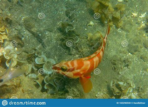 grouper blacktip fish