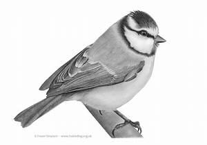 Bird sketches & portraits > Fraser's Birding Website