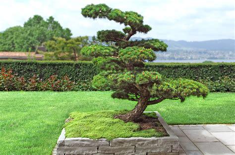 Japanischer Garten Kiefer by Wuhrmann Garten Ag Japangarten