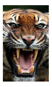 Tiger Teeths, HD Animals, 4k Wallpapers, Images ...
