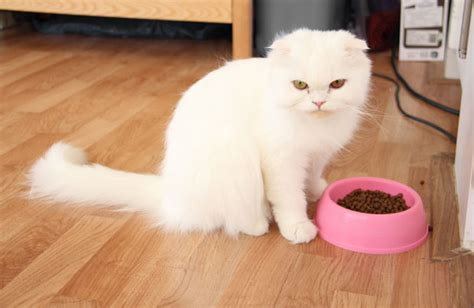 cat fat food why fats petmd evil sick