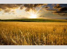 Golden wheat field and a beautiful summer sunset