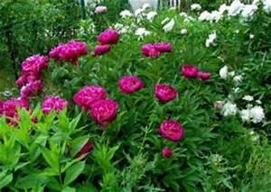 Was Passt Zu Rosen : paeonia p onien pfingstrosen bauerngarten pflanzen ~ Lizthompson.info Haus und Dekorationen