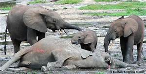 The Long Term Effects of Poaching on Forest Elephants