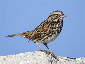Song Sparrow - eBird