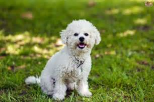 what is the best non shedding dog breed dog breeds picture