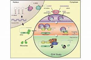 A Model Linking Rnai And Gw Body  Gwb  Assembly And