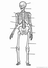 Anatomy Coloring Pages Human Printable Skeleton Skeletal System Systems Drawings sketch template