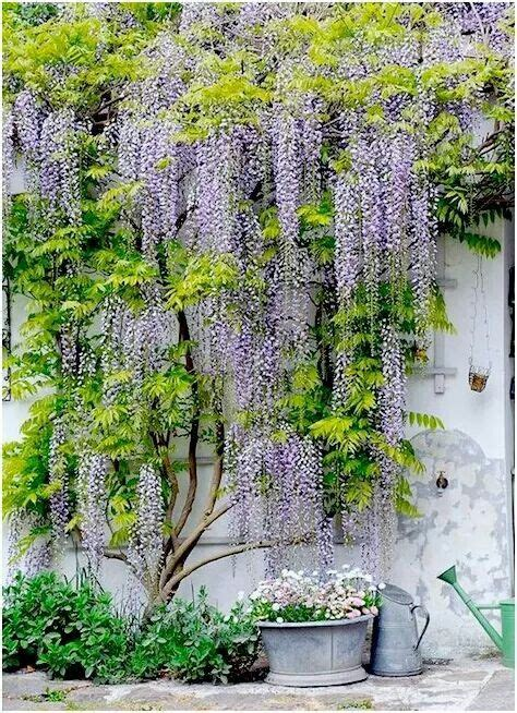 wisteria trellis design 25 best ideas about wisteria trellis on pinterest wisteria pergolas arbors and trellises and