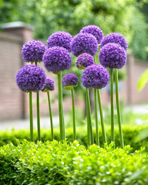 allium colors the garden plot new infographic from longfield gardens illustrates how to enjoy up to 60 days