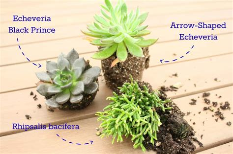 11 Types Of Succulents