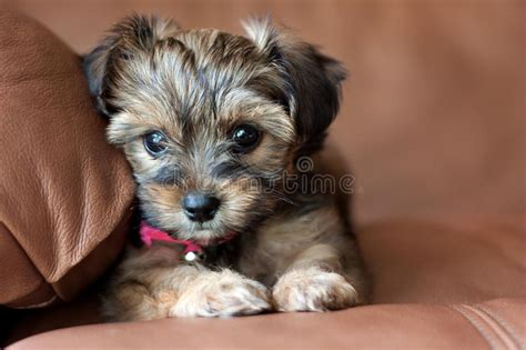 A Yorkie Shih Tzu Mixed Puppy. Stock Photo