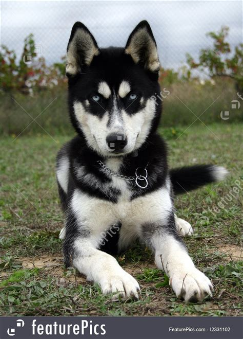 puppy siberian husky picture